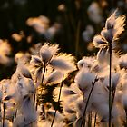 Cotton Grass by Kimberlee Brent