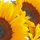 Close Up Sunflowers by Welshpixels
