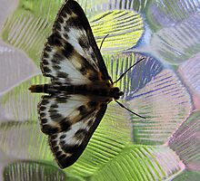 Small magpie moth (Eurrhypara hortulata) on textured glass by Philip Mitchell