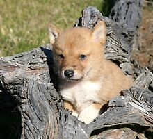 Dingo pup #  3 by Lyn  Thomsen