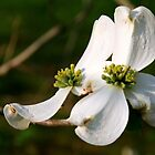 Double Dogwoods by Geno Rugh