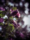 Backlit (Rose of Sharon) by Aaron Campbell