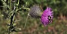 Thistle Visitor (Bumblebee) by Aaron Campbell