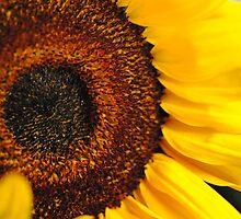 Sunflower Heart by bloomingvine