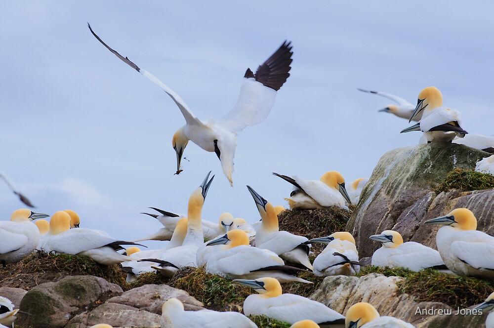Bringing a gift, gannets, Saltee Island, County Wexford, Ireland by Andrew Jones