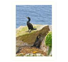 protecting the nest, Saltee Island, Co Wexford, Ireland. Art Print