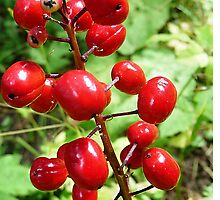 Red Baneberry - POISON © by jansnow