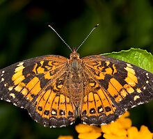 Little Pearl Crescent Butterfly by Bonnie T.  Barry