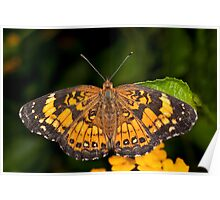 Little Pearl Crescent Butterfly Poster