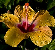 Hibiscus by joshimages