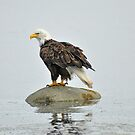 On Watch - American Bald Eagle by Barbara Burkhardt