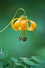 Wild Mountain Lily by Tori Snow