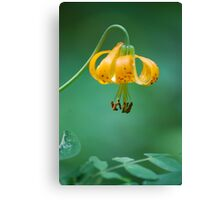 Wild Mountain Lily Canvas Print