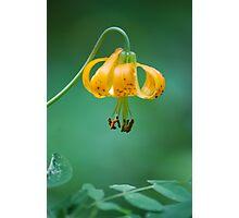 Wild Mountain Lily Photographic Print