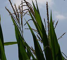 Sunny Corn by Dean Mucha