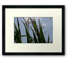 Sunny Corn Framed Print
