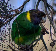 Australian Ringneck Parrot by GerryMac