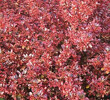 Red Coprosma by ScenerybyDesign