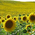 Field of sunflower by viaterra-photos