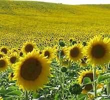Field of sunflower by viaterra-photos