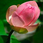 Lotus flower by viaterra-photos