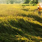 rice fields sri lanka by John Slater
