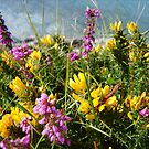 Heather and Gorse by viaterra-photos