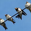 Four cute swallow chicks  by viaterra-photos