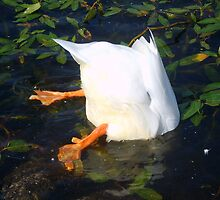 diving duck by viaterra-photos