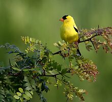Goldfinch on Locust by David Clark