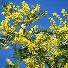 mimosa flowers by viaterra-photos
