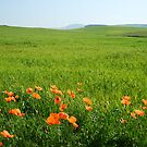 Green fields with poppy flowers by viaterra-photos