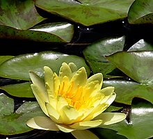 Yellow Water Lily by Tony Weatherman