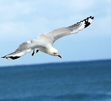 Gull 2 by MickDee