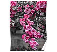 Blossom Rose Tree Poster