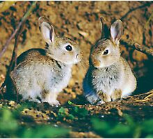 Baby rabbits  Photographic Print