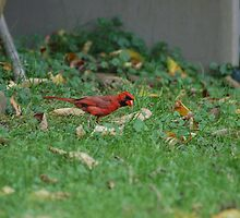 male cardinal by paul gavin