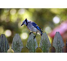 bluejay Photographic Print
