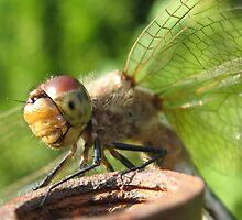 Dragonfly eye by Tamara Brandy