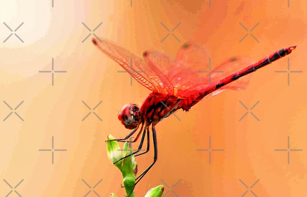 Urpthemis assignate - RED BASKET ( The ballerina ) by Magriet Meintjes