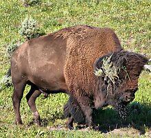 Buffalo by Teresa Zieba