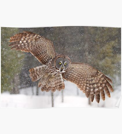 Awesome! - Great Grey Owl Poster