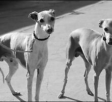 Italian Greyhounds by NoAngelPain