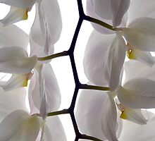 Orchids by Bob McGrath