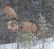 Through the Snow - Great Grey Owl by Jim Cumming