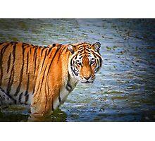 Siberian tiger...... Photographic Print