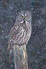 Great Grey Owl in Snow by Jim Cumming