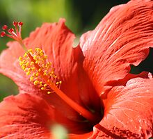 Hibiscus by Christina14
