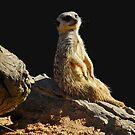 Meerkat Manor by GailD