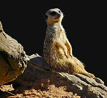 Meerkat Manor by GailD